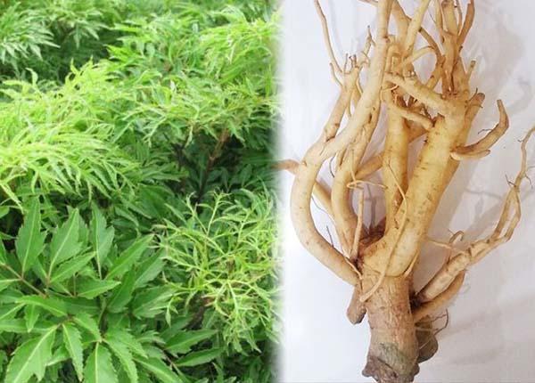 Cây đinh lăng là vị thuốc quý và được sử dụng trong nhiều bài thuốc trị bệnh