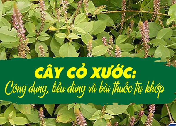 Cây cỏ xước giúp hỗ trợ điều trị bệnh xương khớp