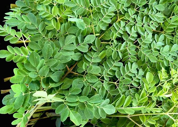 Cây chùm ngây là một loại thảo dược bắt nguồn từ Ấn Độ