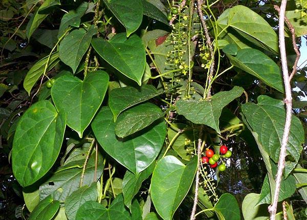 Hình ảnh cây đau xương – Loài thực vật thân leo, có cành rũ xuống, chiều dài từ 7 – 8m