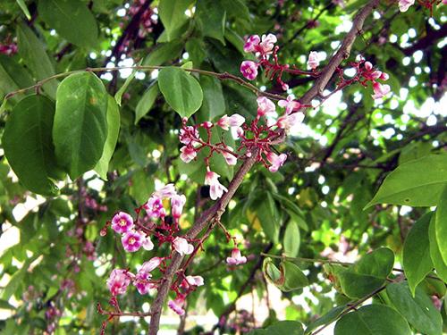 Hoa và lá khế là một vị thuốc Đông y nhiều công dụng