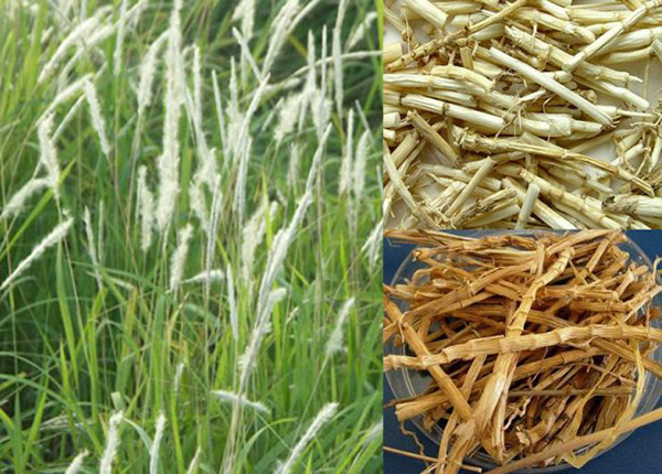 Trong Đông y, thân và rễ cỏ tranh có vị ngọt, tính hàn