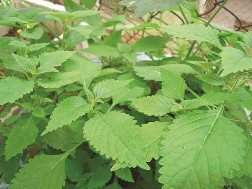 Bài thuốc dân gian chữa bệnh tuyệt vời từ cây rau kinh giới