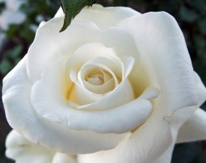 Bài thuốc trị ho thần kì từ hoa hồng bạch