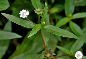 Chữa bách bệnh từ cây cỏ mực bạn đã thử chưa?