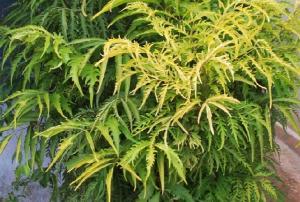 Bài thuốc chữa bệnh, làm đẹp từ lá đinh lăng