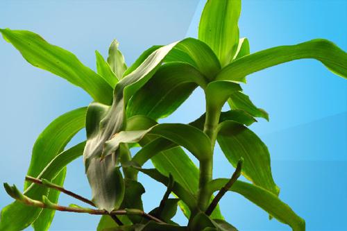 Tìm được bài thuốc chữa bệnh từ cây lược vàng