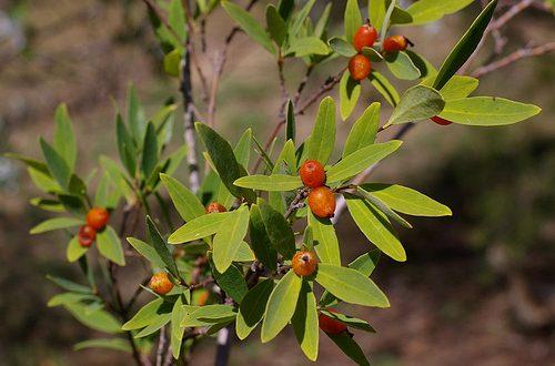 Niệt gió là một loại cây thảo thường mọc hoang ở các vùng rừng núi