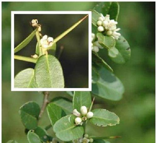 Những công dụng chữa bệnh thần kỳ của cây Tầm xoọng