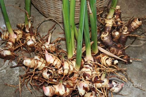 Củ riềng thường mọc hoang ở Việt Nam