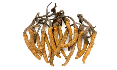 Đông trùng hạ thảo là vị thuốc quý trong Đông Y