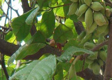 Lười ươi là một loại thường mọc hoang có ở khắp nước ta