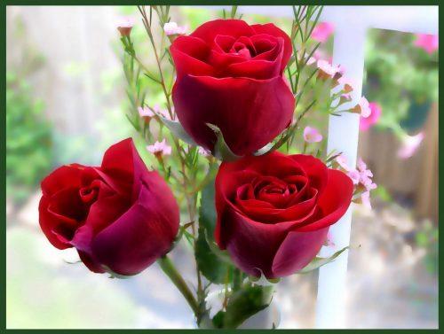 Hoa hồng có rất nhiều lợi ích sức khỏe cho con người