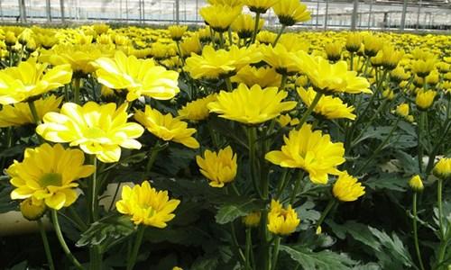 Hoa cúc cải thiện nhanh chóng chứng đau đầu, chóng mặt