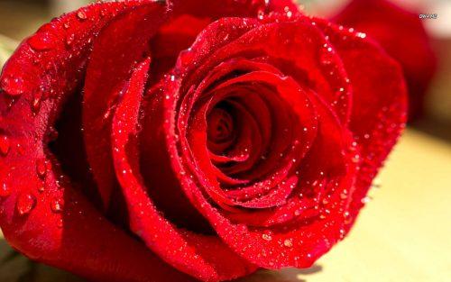 Hoa hồng còn có tác dụng kích thích ham muốn tình dục