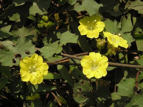 Ké hoa vàng và một số bài thuốc chữa bệnh cần biết