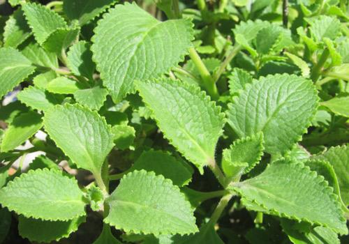 Húng chanh thường mọc hoang hay được trồng nhiều  ở nước ta