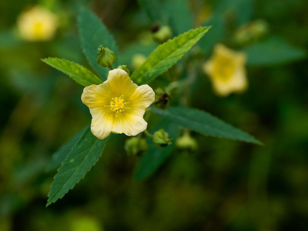 Ké hoa vàng với những công dụng đặc biệt tốt với sức khỏe con người