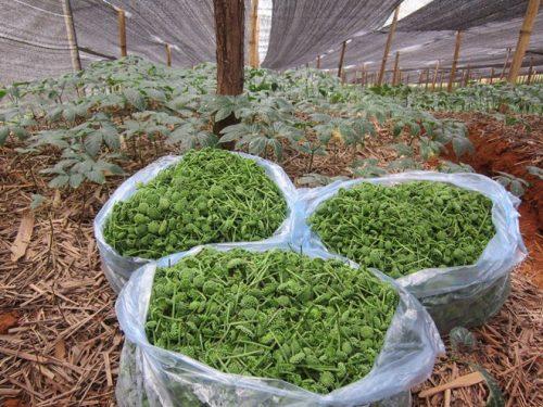 Hoa tam thất cũng là một loại thảo dược quý chữa bệnh mất ngủ rất tốt