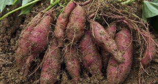 rễ-khoai-lang