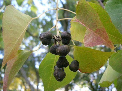 Sòi là cây thường mọc hoang ở những vùng đồi núi