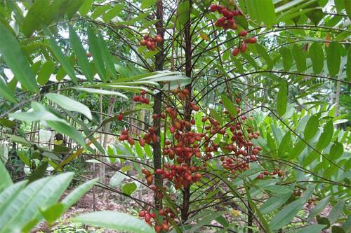 Nhiều người cho rằng cây mật nhân là tiên dược, chữa được bách bệnh