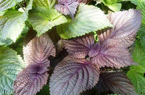Lá tía tô là một trong những loại rau gia vị có công hiệu vô cùng tốt trong thải độc