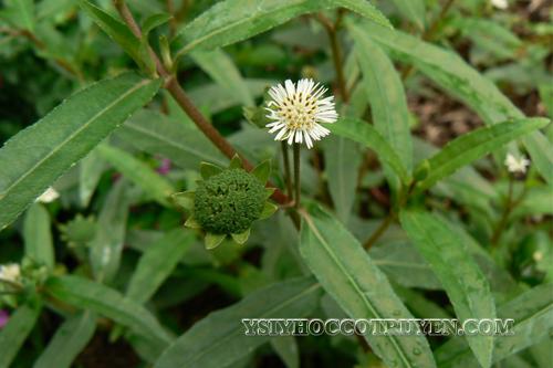 Một số bài thuốc hay từ cỏ mực